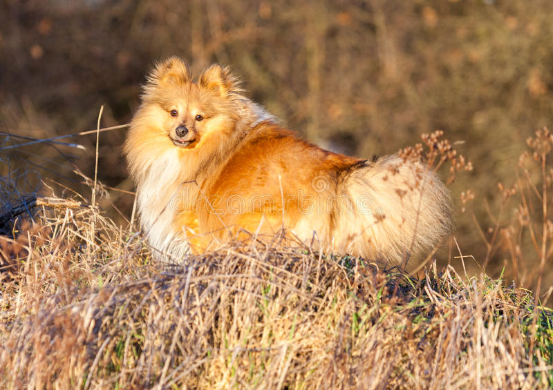 Download Shetland Sheepdog Stands On A Brown Field Stock Photo - Image: 83710797