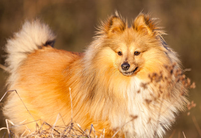 Download Shetland Sheepdog Stands On A Brown Field Stock Image - Image: 83712795