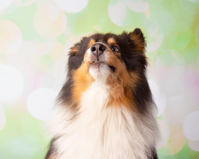 Shetland Sheepdog in Studio Portrait Catching Treats royalty free stock photo