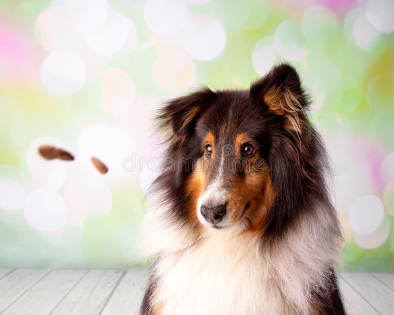Shetland Sheepdog in Studio Portrait Catching Treats royalty free stock photos