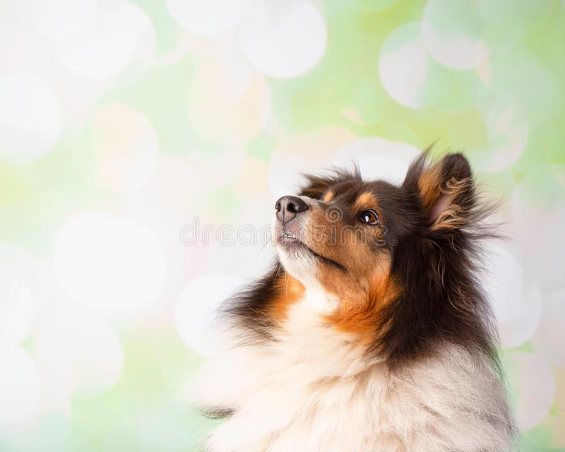 Shetland Sheepdog w Pracownianym portrecie Przyglądającym W górę zdjęcia stock