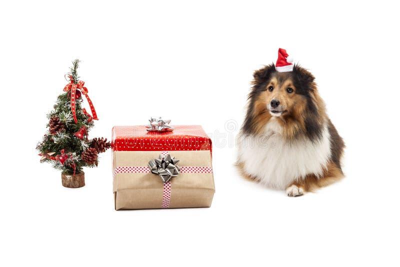 Shetland sheepdog z boże narodzenie ornamentami obraz royalty free