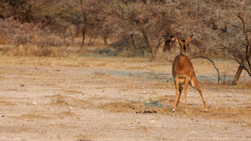 Shi*?! impala do ing. fotografia de stock