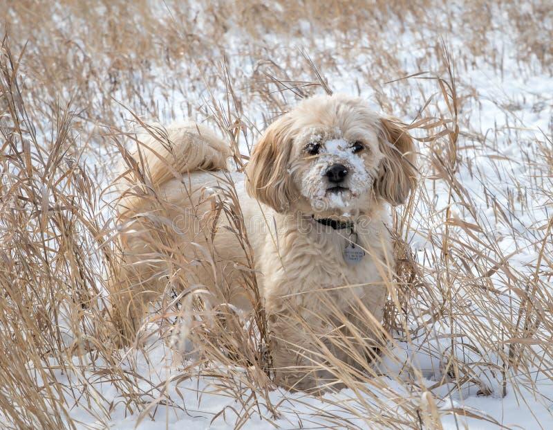 Shi-Poo enjoying winter royalty free stock image
