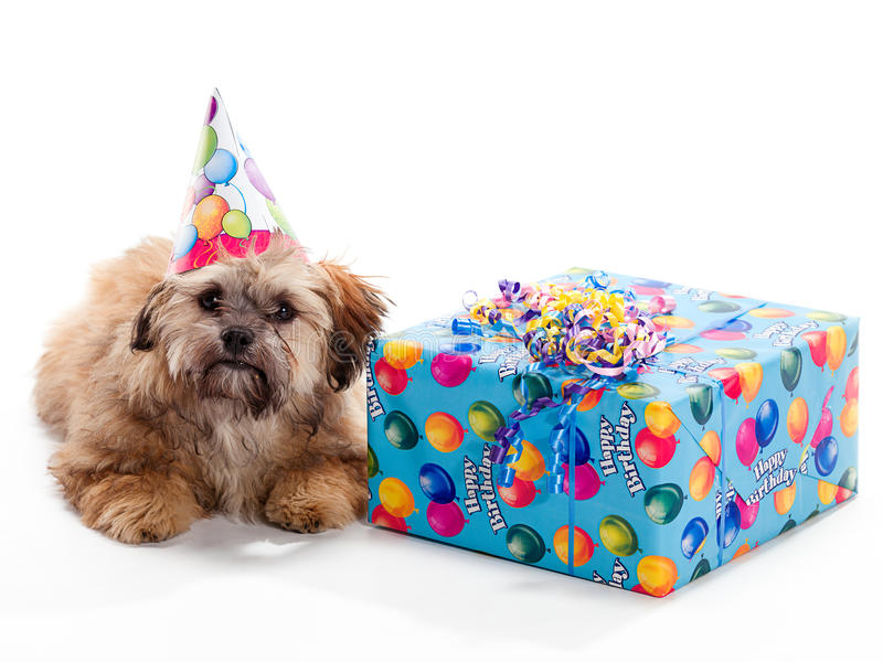 Shi Poo Wearing Hat. A Shitzu Poodle mix laying beside a birthday present wearing a hat royalty free stock photos