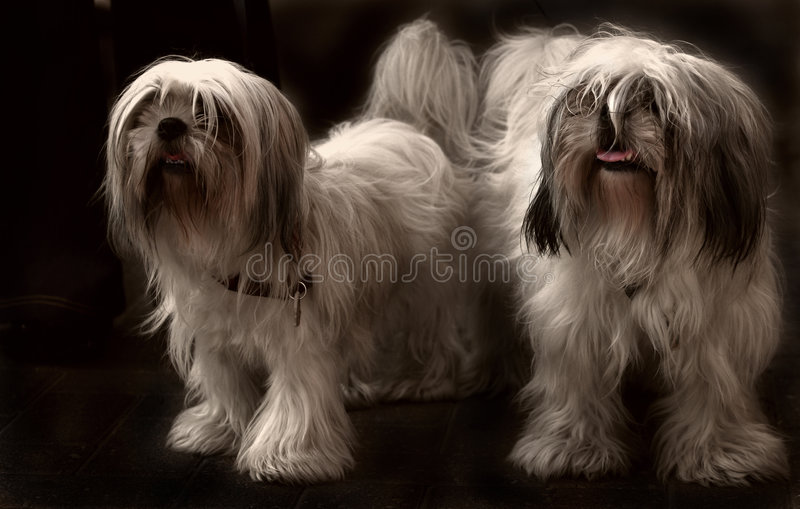 Shi tzu couple royalty free stock photography
