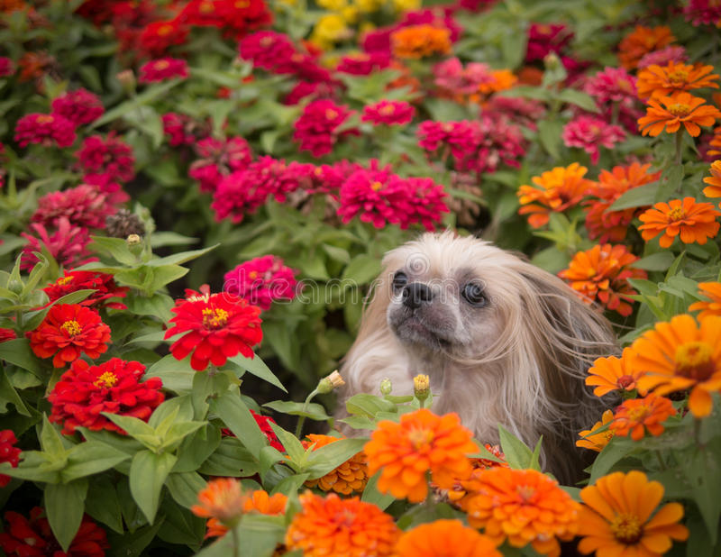 Shi Tzu Dog in Flowers. A Shi Tzu Dog in the flowers royalty free stock photos