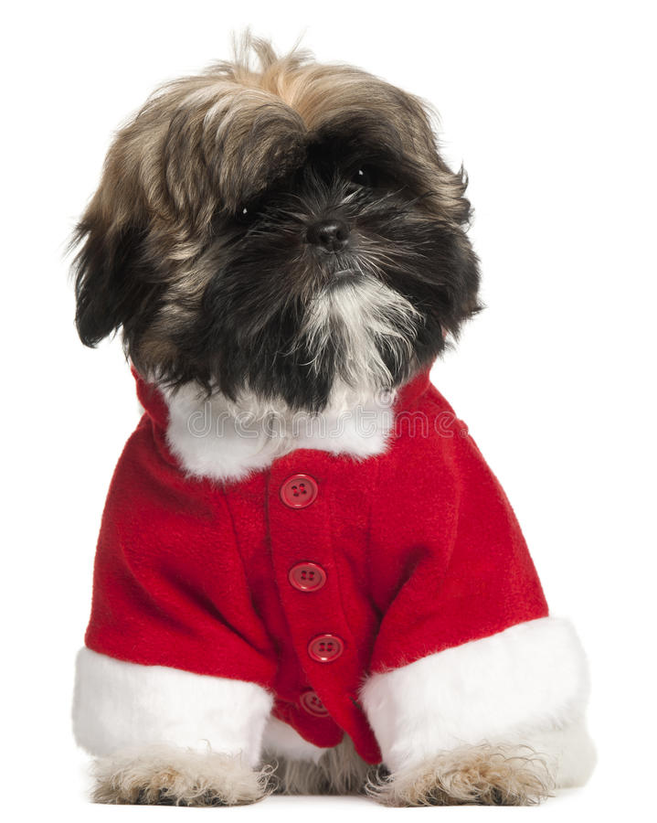 Shi Tzu puppy in Santa outfit, 3 months old. Sitting in front of white background stock photos