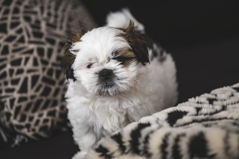 Shi Tzu small puppy dog. Pure breed small puppy Shi Tzu dog lookin into camera royalty free stock images