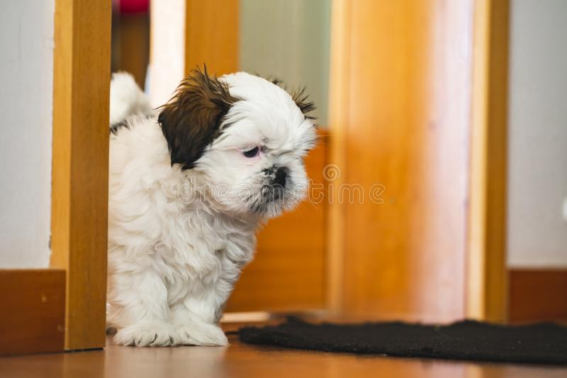 Shi Tzu small puppy dog. Pure breed small puppy Shi Tzu dog lookin into camera stock images