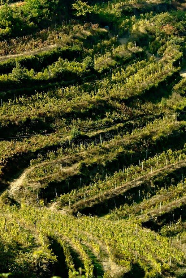 Shiacchetrã Viñedo En Cinque Terre Cultivo De La Vid En La