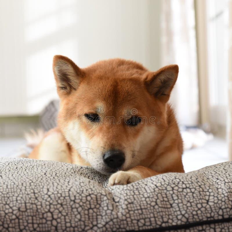 Shiba auf Kissen lizenzfreies stockfoto