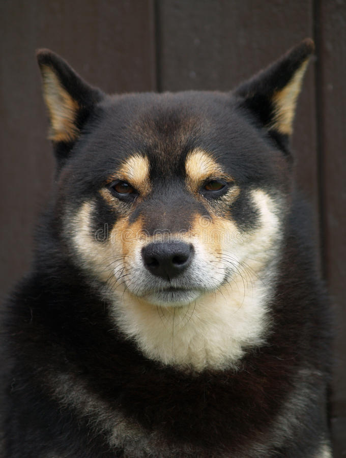 shiba inu собаки стоковые фотографии rf