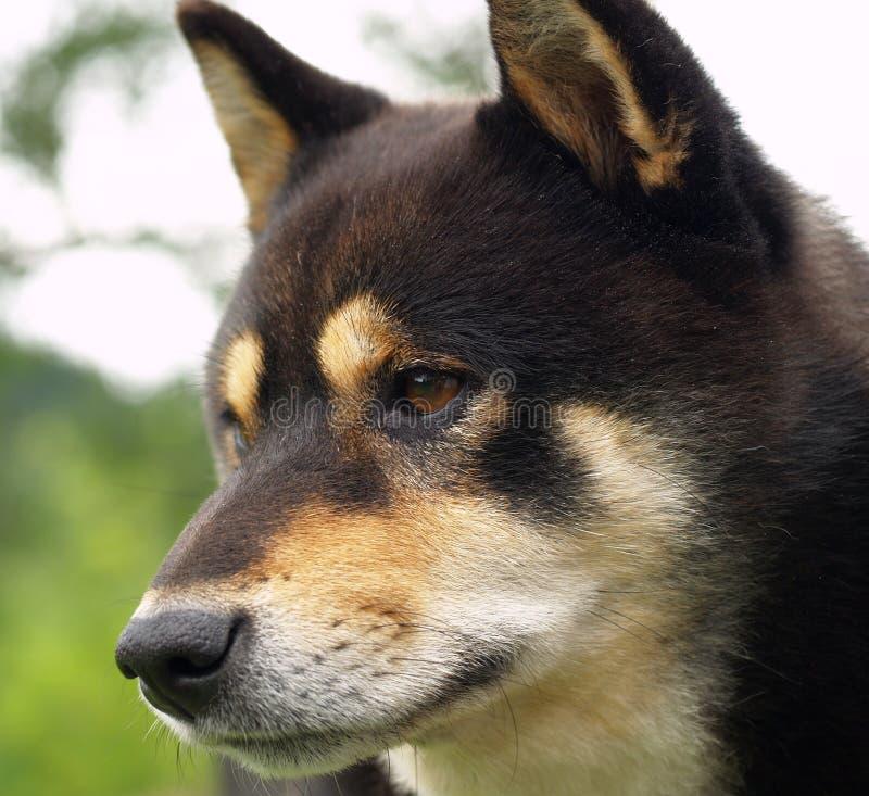 shiba inu собаки стоковое фото