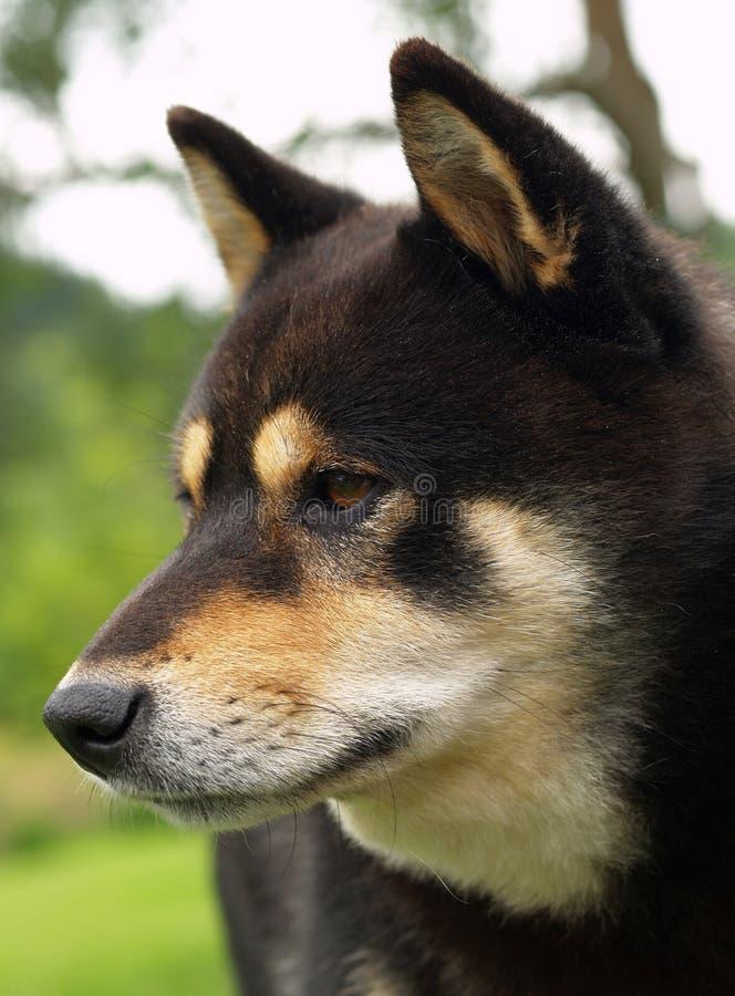 shiba inu собаки стоковые изображения