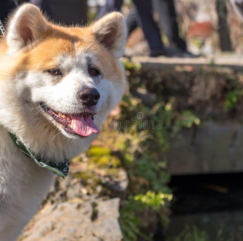 Shiba Inu: Японская собака стоковые изображения