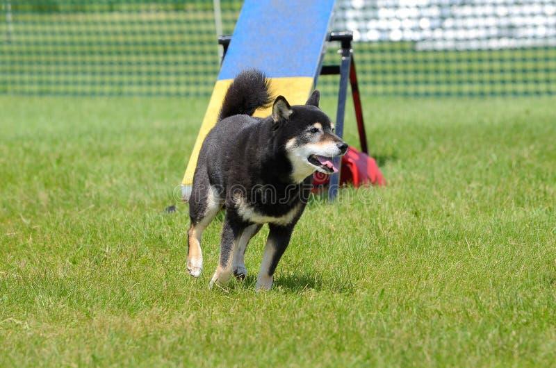 Shiba Inu alla prova di agilità del cane immagine stock libera da diritti
