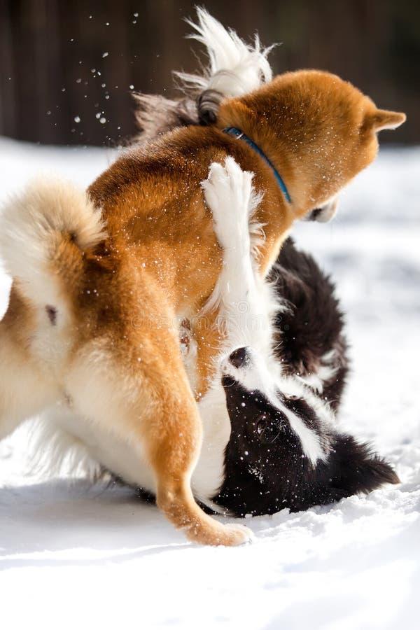 Shiba inu Border collie i pies bawić się na śnieżnym togever Drzewa na tle zdjęcia royalty free