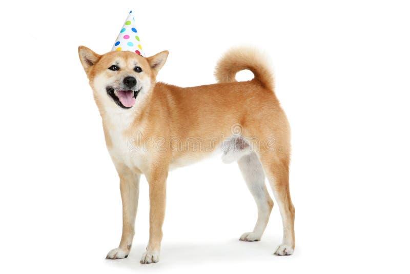 Shiba inu dog in birthday cap. Isolated on white background stock photos