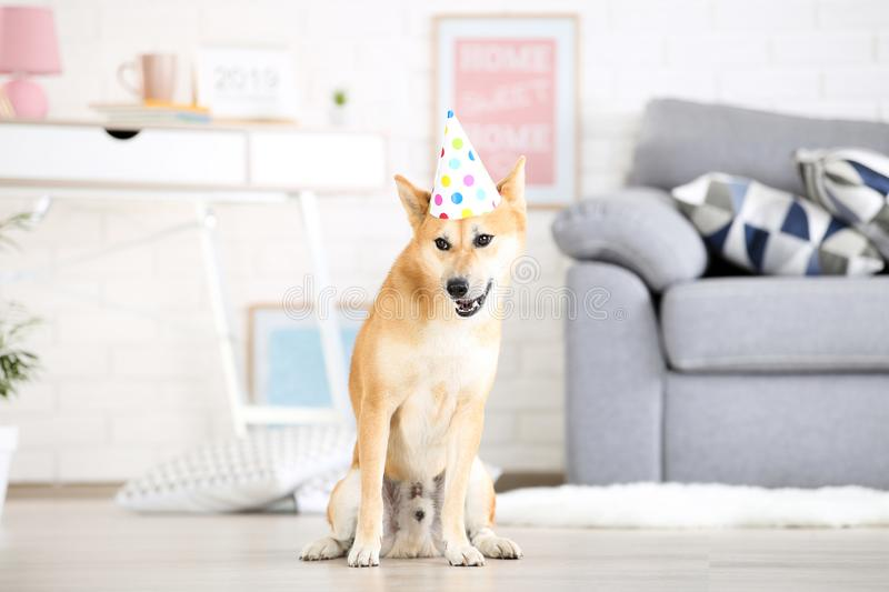 Shiba inu dog with birthday cap. Sitting on the floor at home stock photos