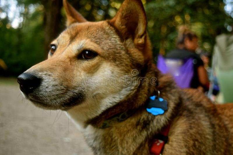 Shiba Inu - Dog. Shiba Inu dog breed is an ancient Japanese breed. It is small but well muscled dog, once used as a hunter. These days it is a popular companion stock images