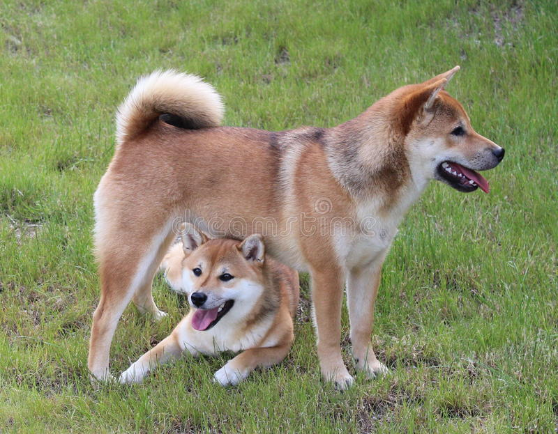 Shiba Inu Dogs. Two Shiba Inu Dogs playing in the garden, lay down, brown Shiba Inu funny Shibas royalty free stock photography