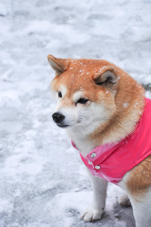 Shiba-inu: Japansk traditionell hund i omslagssammanträde på snö royaltyfri fotografi
