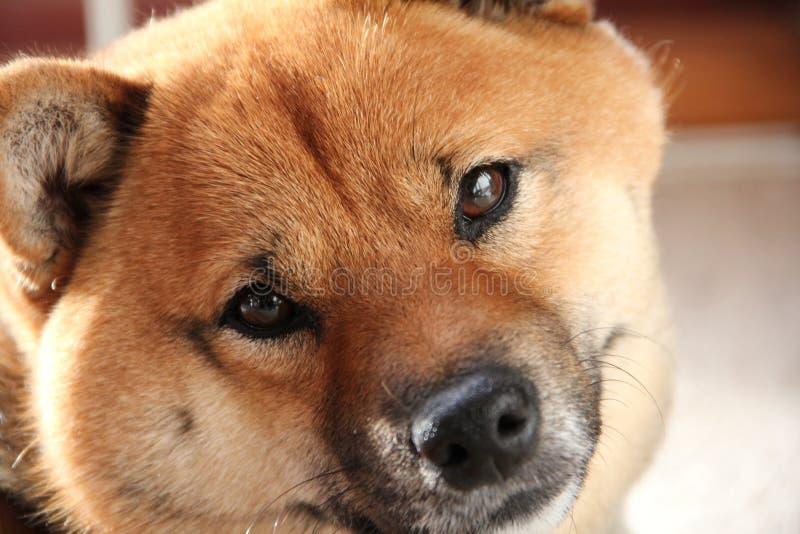 Shiba-Inu Pet Dog Stock Photos