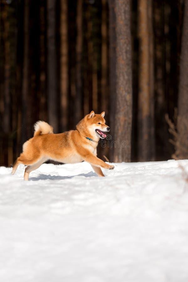 Shiba inu pies biegający na śniegu Drzewa na tle fotografia stock