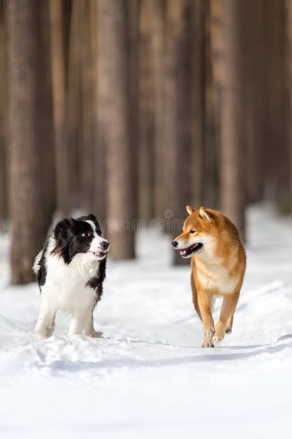 Shiba inu pies i Border collie bieg naprzód na śniegu Drzewa na tle obraz stock