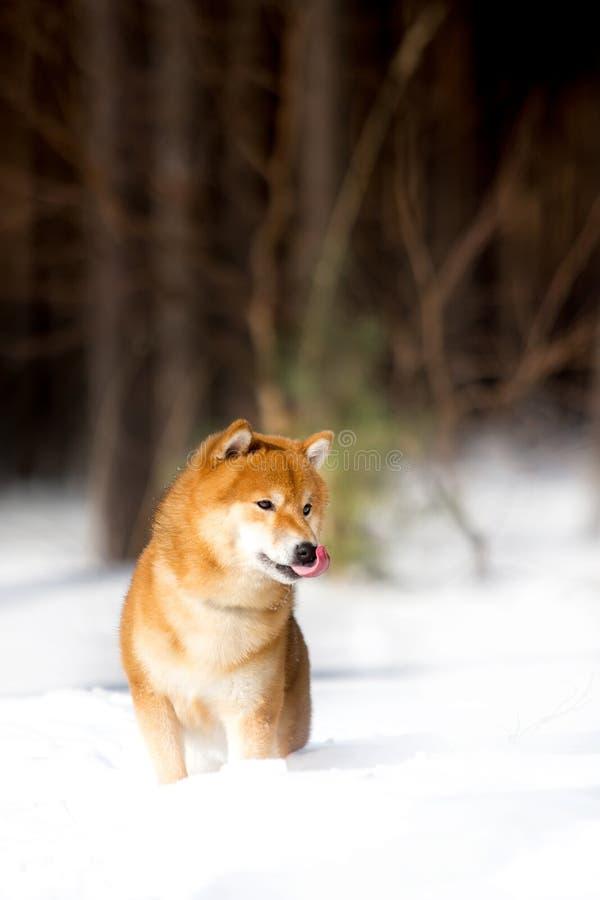 Shiba inu psa bieg naprzód na śniegu Drzewa na tle obraz royalty free