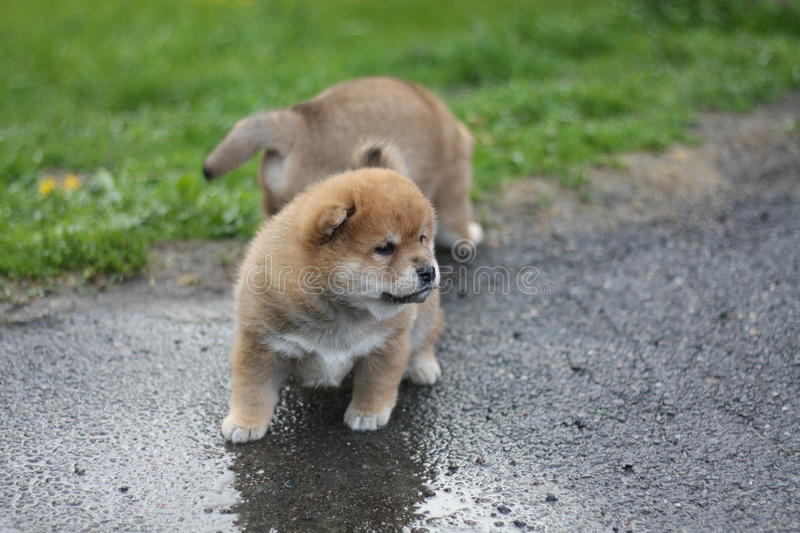 Shiba inu puppies exploring the world royalty free stock images