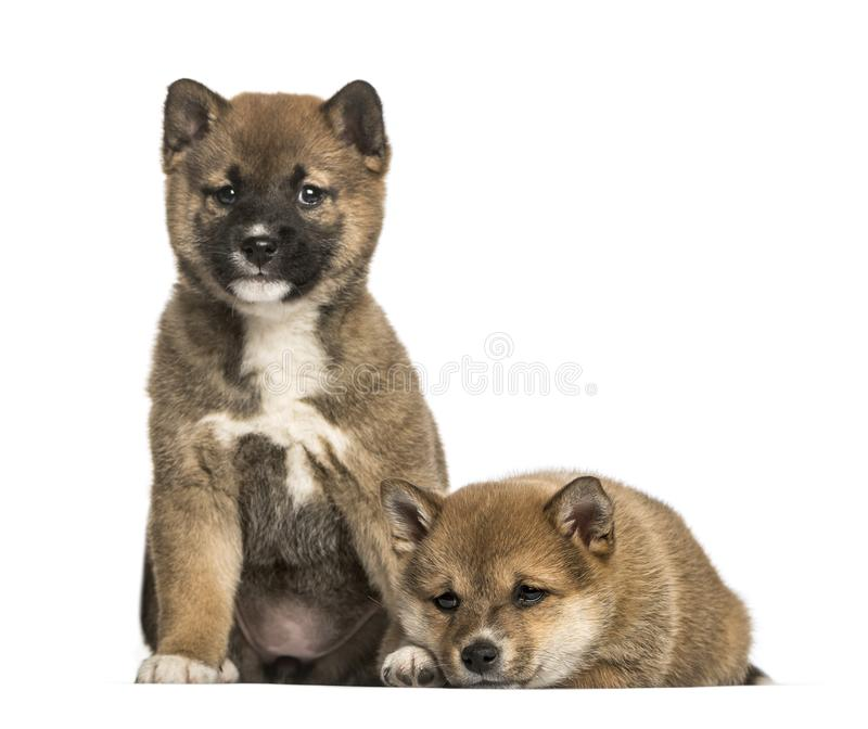 Shiba Inu puppies. 8 weeks old sitting against white background stock photo