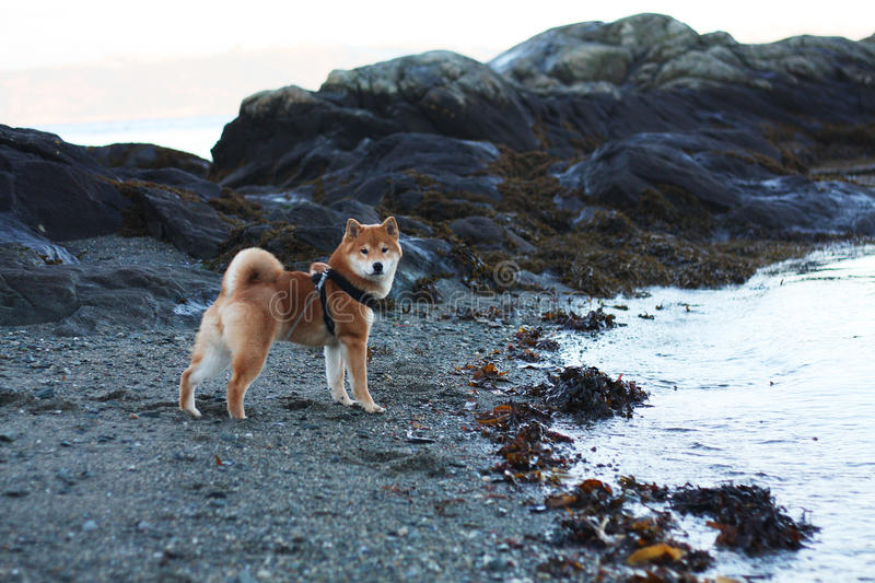 Shiba inu puppy at the beach in Norway autumn royalty free stock photo