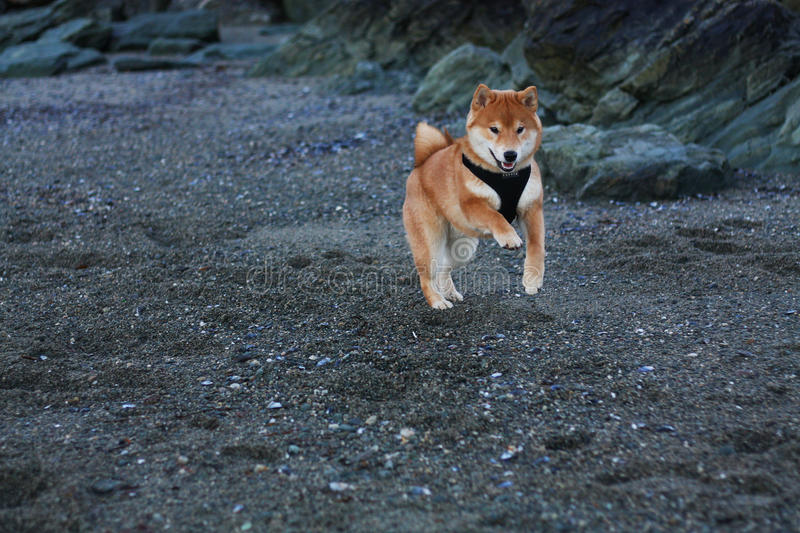 Shiba inu puppy dog playing at the beach in Norway royalty free stock photo