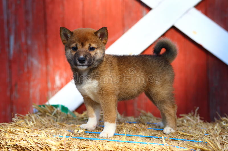 Shiba Inu puppy standing on hay bale stock images
