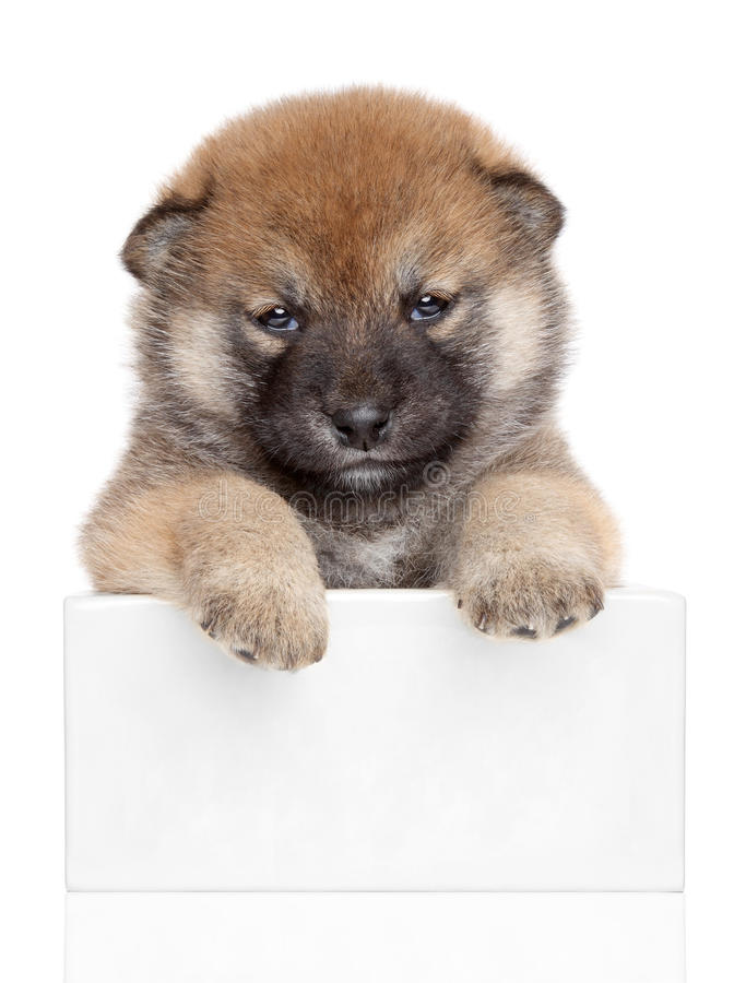 Shiba Inu puppy on white banner stock photos