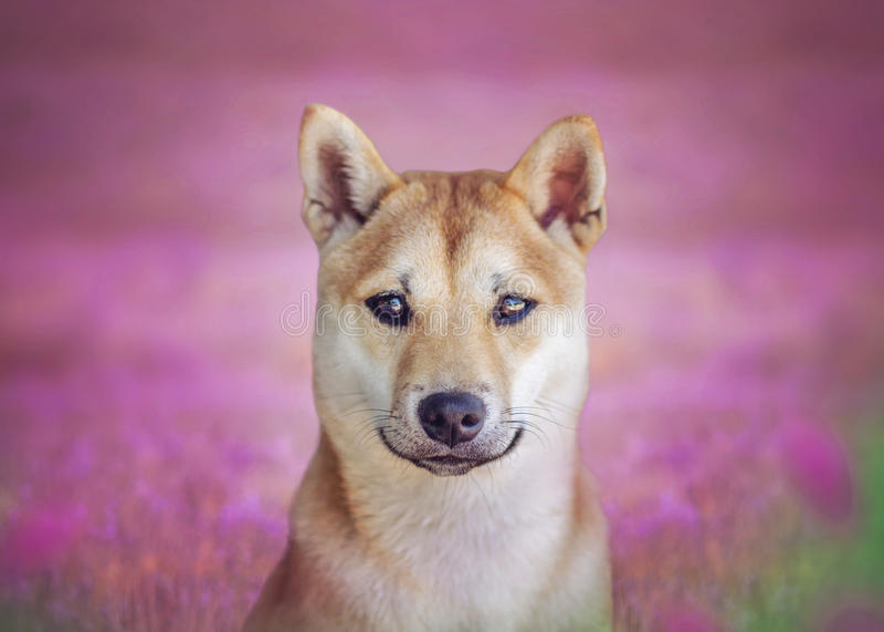 Shiba Inu Scarlett royalty-vrije stock afbeelding