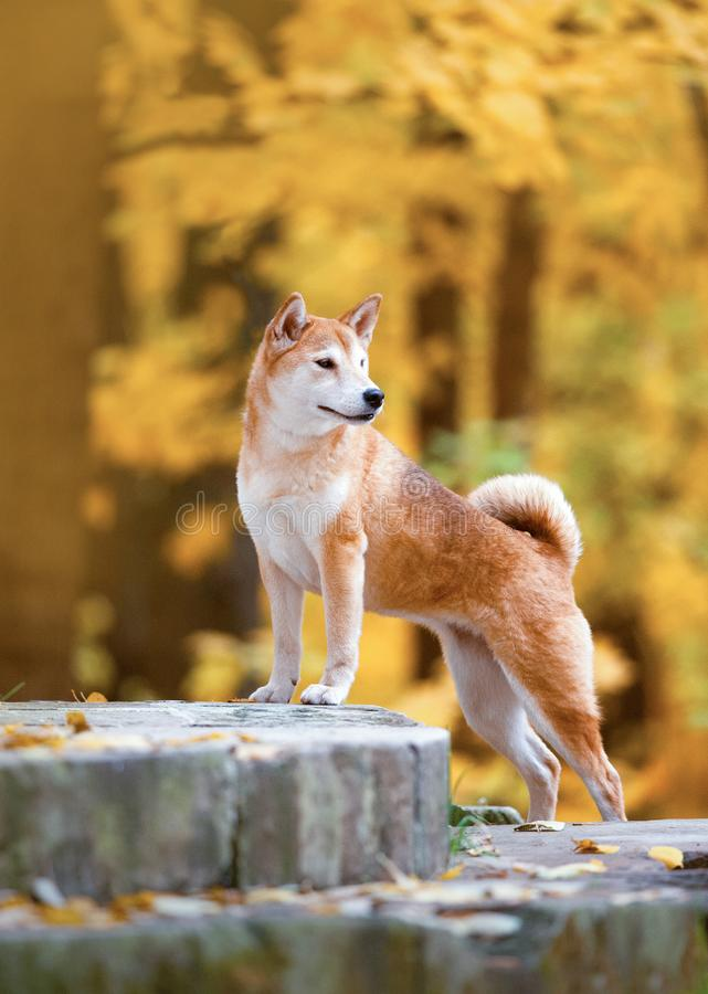 Shiba Inu standing on old stairs surrounding by yellow background stock photo