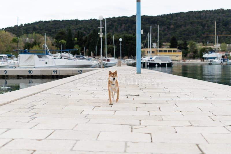 Shiba Inu trakenu czysty pies zdjęcie royalty free