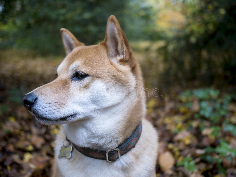 Shiba Inu in the woods stock photos
