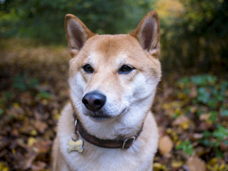 Shiba Inu in the woods royalty free stock photo