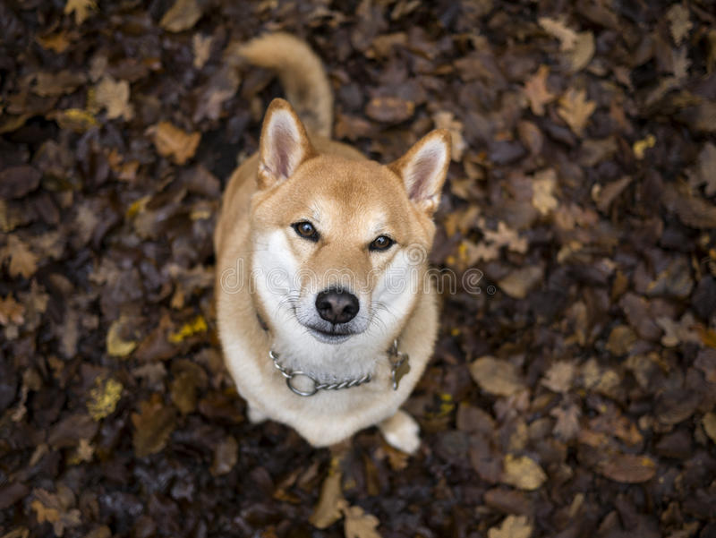 Shiba Inu in the woods royalty free stock image