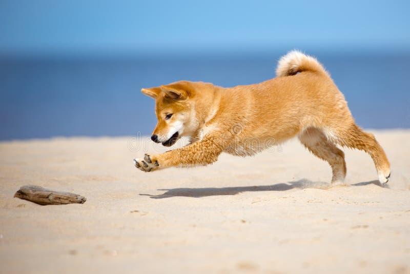 Shiba-inuwelpe, der auf einem Strand spielt lizenzfreie stockbilder