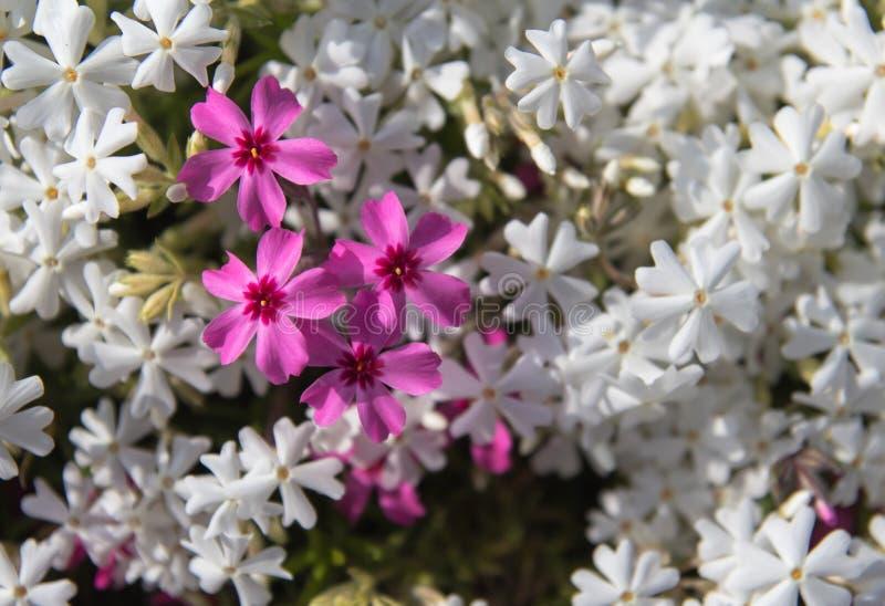 Shiba Kirschblüte lizenzfreies stockbild