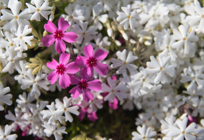 Shiba Sakura arkivfoto