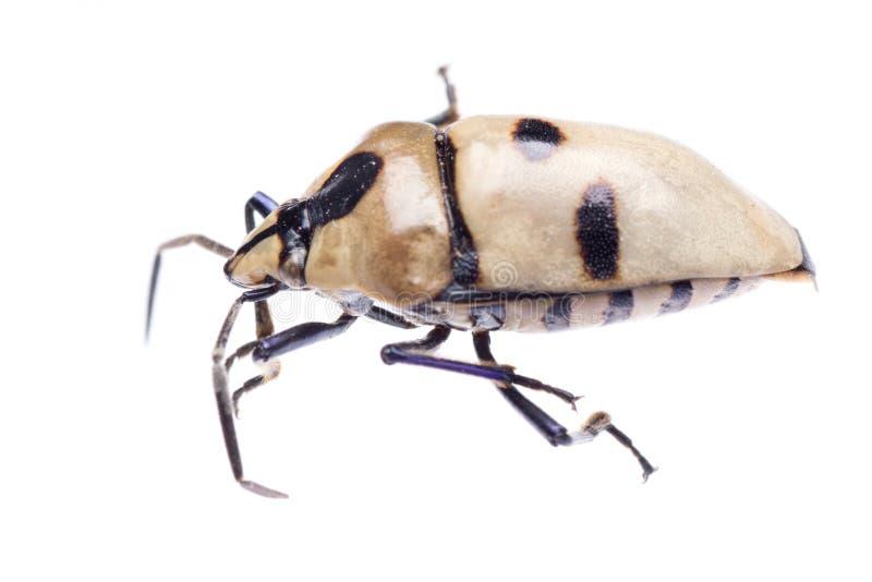 Download Shield back stink bug stock photo. Image of fauna, creepy - 20648454