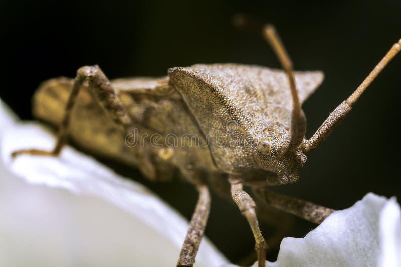 Download Shield Bug stock image. Image of brown, antennas, biology - 24518359