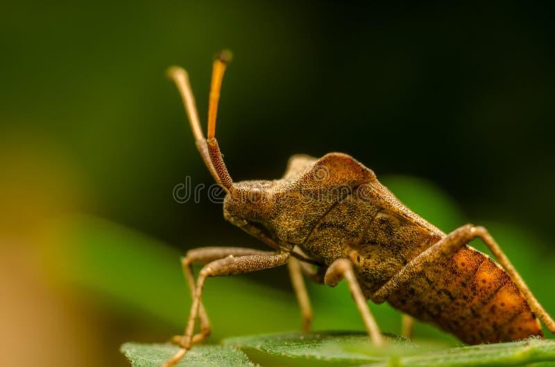 Download Shield Bug stock image. Image of aspect, closeup, arthropod - 27274715