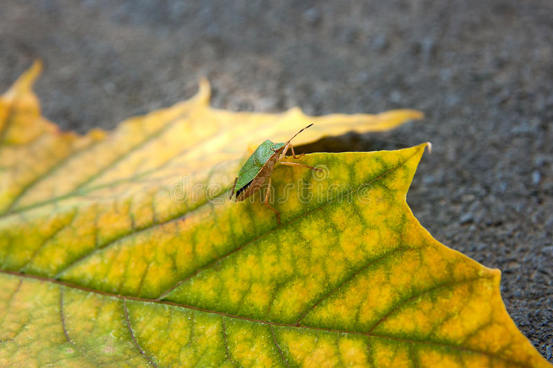 Shield bug, also known as stink bug on autumn maple leaf stock photography